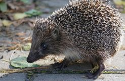 Hedgehog in the park. Curious. Thorny animal in September. Gray  paws of the ears shadow Royalty Free Stock Photo