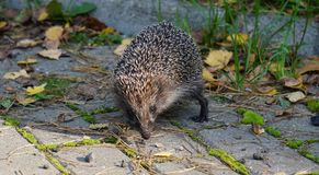 Hedgehog in the park. Curious. Thorny animal in September. Gray  paws of the ears shadow Stock Images