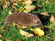 Hedgehog in the park Royalty Free Stock Photo