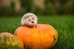 Hedgehog pequeno fotografia de stock