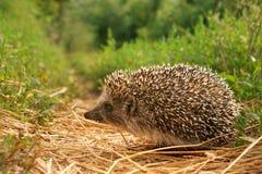 Hedgehog pequeno Fotos de Stock Royalty Free