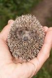 Hedgehog pequeno Imagens de Stock