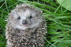 Hedgehog pequeno imagens de stock royalty free