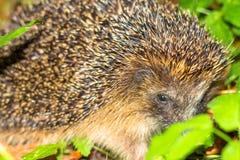 Hedgehog pequeno bonito Fotografia de Stock Royalty Free