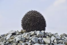 Hedgehog on a pile of rubble. Hedgehog curled up into a ball.  Royalty Free Stock Images