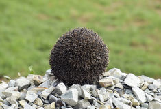 Hedgehog on a pile of rubble. Hedgehog curled up into a ball.  Stock Photo