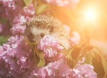 Hedgehog with pink flowers of sakura Stock Photos