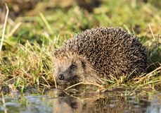 Hedgehog at a pool to drink water. Wild, native, European hedgehog. Hedgehog at a pool of water with grassy background. Wild, native, European hedgehog Stock Photo