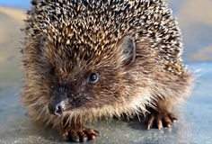 Hedgehog portrait Stock Images