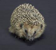 Hedgehog portrait in dark back Stock Photography
