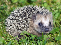 Hedgehog. Portrait of hedgehog on grass Stock Images