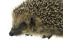 Hedgehog portrait Stock Photo