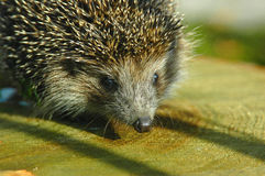 Hedgehog. Prickly coat it very useful stock photo