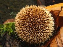 Hedgehog puffball between autumn leaves. Stock Images