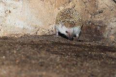 hedgehog Quatro-toed imagem de stock royalty free