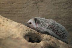 hedgehog Quatro-toed fotografia de stock