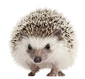 Hedgehog Quatro-toed, albiventris de Atelerix fotografia de stock royalty free
