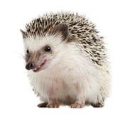 Hedgehog Quatro-toed, albiventris de Atelerix Imagens de Stock