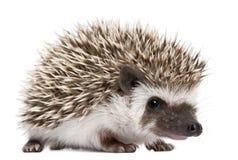 Hedgehog Quatro-toed, albiventris de Atelerix