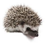 Hedgehog Quatro-toed, albiventris de Atelerix Foto de Stock