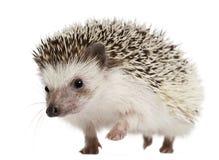 Hedgehog Quatro-toed, albiventris de Atelerix Imagem de Stock Royalty Free