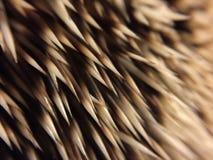 Hedgehog quills Stock Image