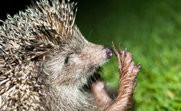 A hedgehog reaches out for a high five Royalty Free Stock Photos