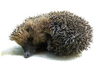 Hedgehog. Recumbent on a white background Royalty Free Stock Images