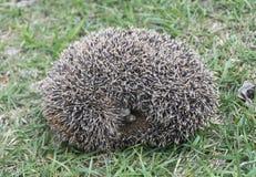 Hedgehog rests upon herb Stock Images