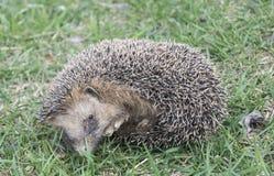Hedgehog rests upon herb Stock Image