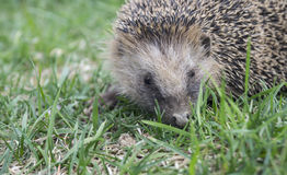 Hedgehog rests upon herb Royalty Free Stock Photos