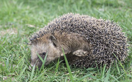 Hedgehog rests upon herb Stock Photography