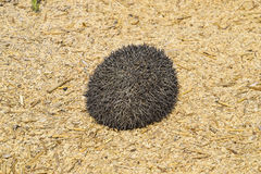 Hedgehog on rice husk. Hedgehog curled up into a ball Stock Image