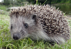 Hedgehog. On the river bank Stock Photography