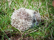 Hedgehog rolled in a ball Royalty Free Stock Photo