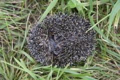 Hedgehog rolls itself in danger in the grass. Netherlands Stock Images