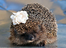 Hedgehog with with rose flower in the needles Stock Photos