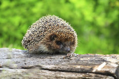 Hedgehog on the rotten log Royalty Free Stock Photo