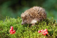 Hedgehog and rowans royalty free stock photos