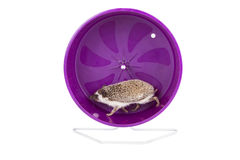 Hedgehog running on an exercise wheel. A hedgehog running on an exercise wheel on an isolated white background Royalty Free Stock Photography