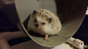 Hedgehog Running Royalty Free Stock Photos