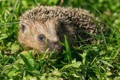 Hedgehog 6 Stock Photos