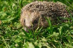 Hedgehog 7 Royalty Free Stock Photography