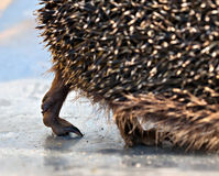 Hedgehog 's paw Stock Image