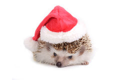 Hedgehog with santa claus hat. Stock Images