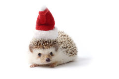 Hedgehog with Santa hat on white background. Royalty Free Stock Image