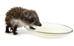 Hedgehog and saucer with milk Royalty Free Stock Image