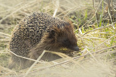 Hedgehog in search for food Royalty Free Stock Photography