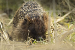 Hedgehog in search for food Stock Image