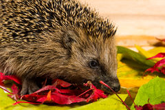 Hedgehog searching for fodder on autumn leaves Royalty Free Stock Photos